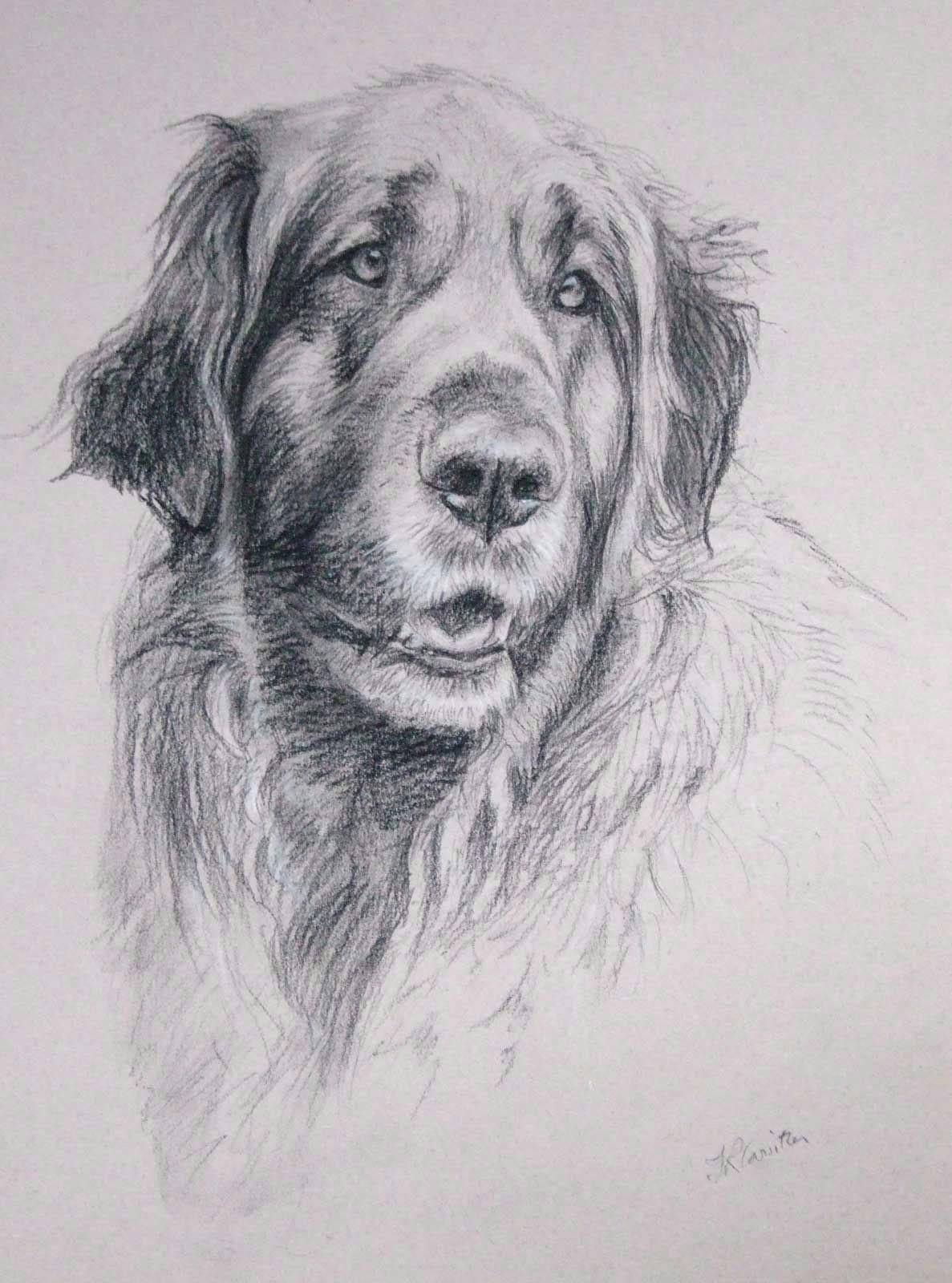 leonberger dog 2 carbon pencil on paper petportraits petportrait dog leonberger dogportrait petart petpainting dogart dogpainting johncarwithen