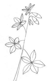 draw a spring beauty wild flower flower line drawings easy drawings doodle drawings