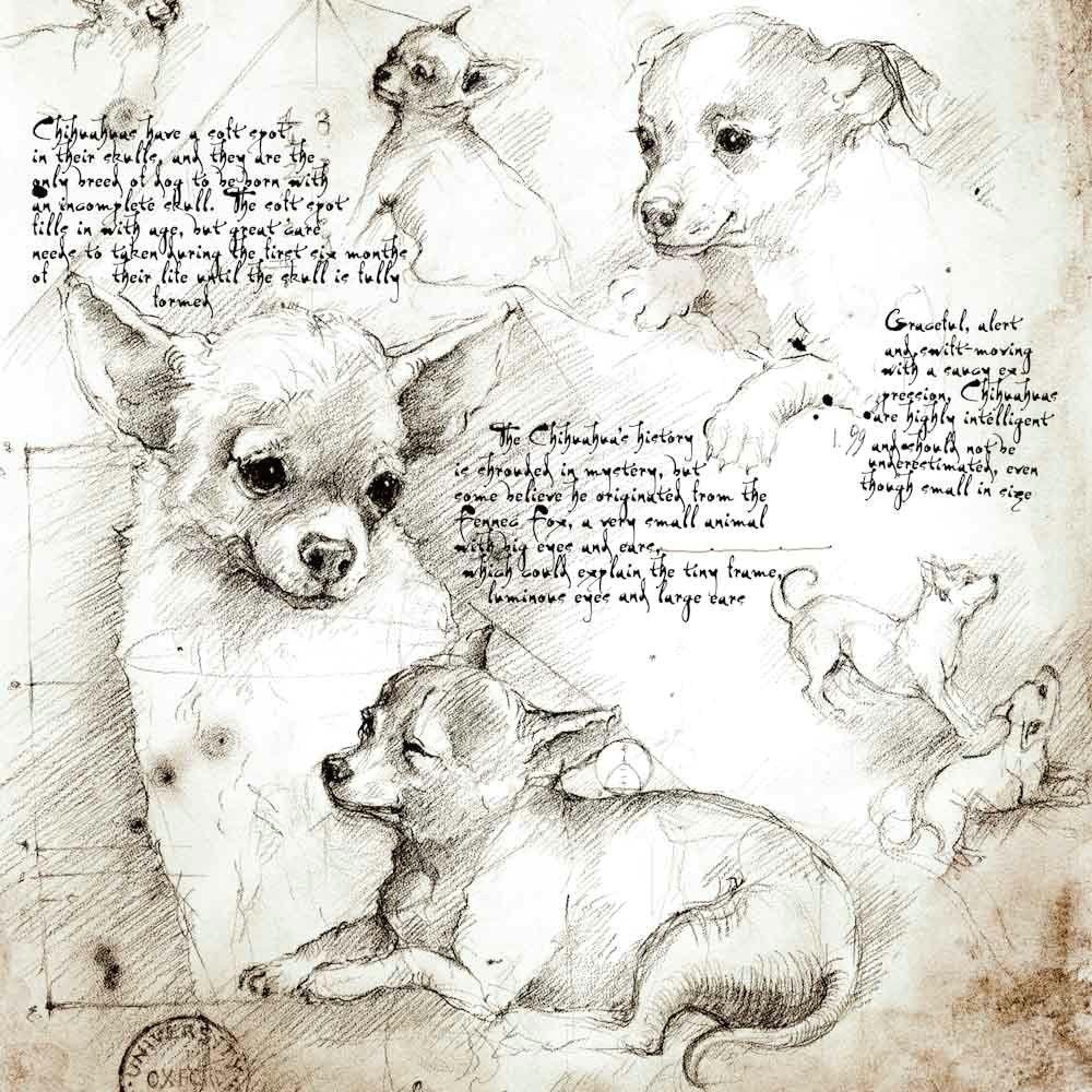Big Drawing Dogs Chihuahua Study A Full Size Da Vinci Style Drawing Chihuahua