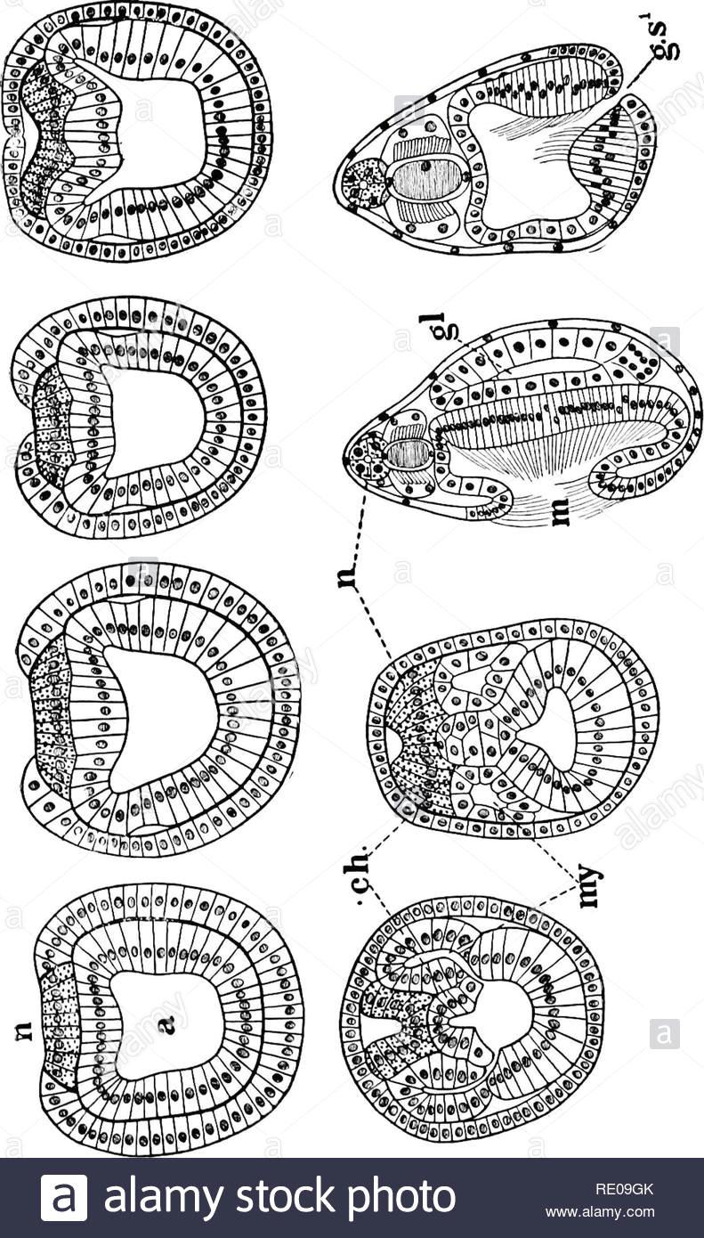 amphioxus und die abstammung der wirbeltiere amphioxus seescheiden hemichordata em br