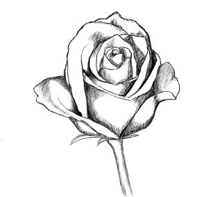 Cool Drawings Of A Rose How to Draw A Rose Drawing Lettering Drawings Art Drawings