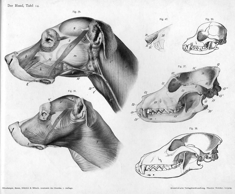 dibujos de perros dibujos de animales bocetos retratos referaancia anatomia medicina