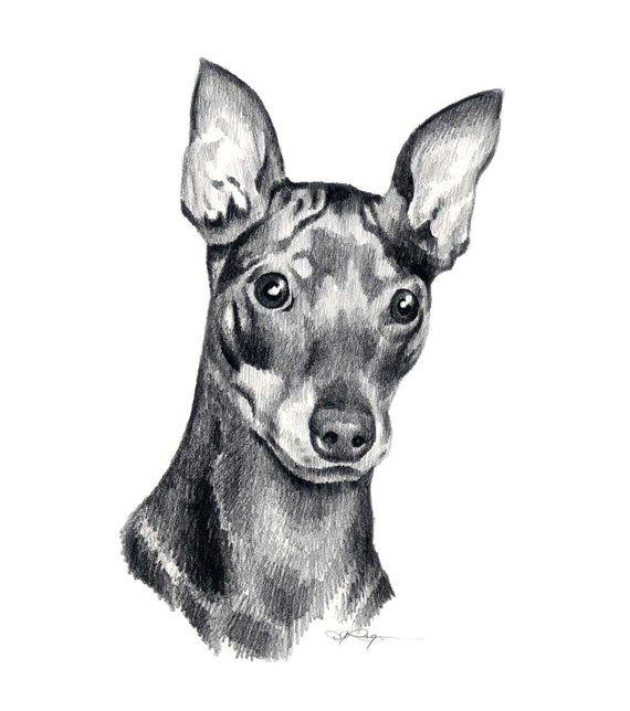 miniature pinscher dog pencil drawing art print signed by artist dj rogers