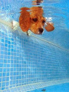 14783 underwater shot of a great swimmer dogs