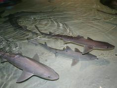 a molecule discovered in the dogfish shark not only has anti bacterial and anti
