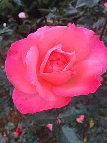the beautiful red rose jpg