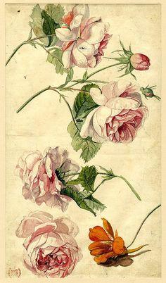 vintage illustration of roses