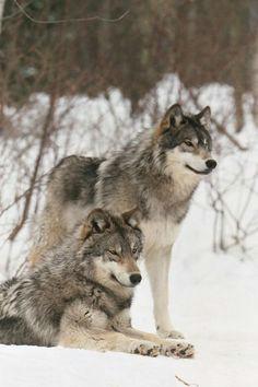 zwei wunderschone wolfe im schnee sua e tiere natur tiere schone hunde katzen
