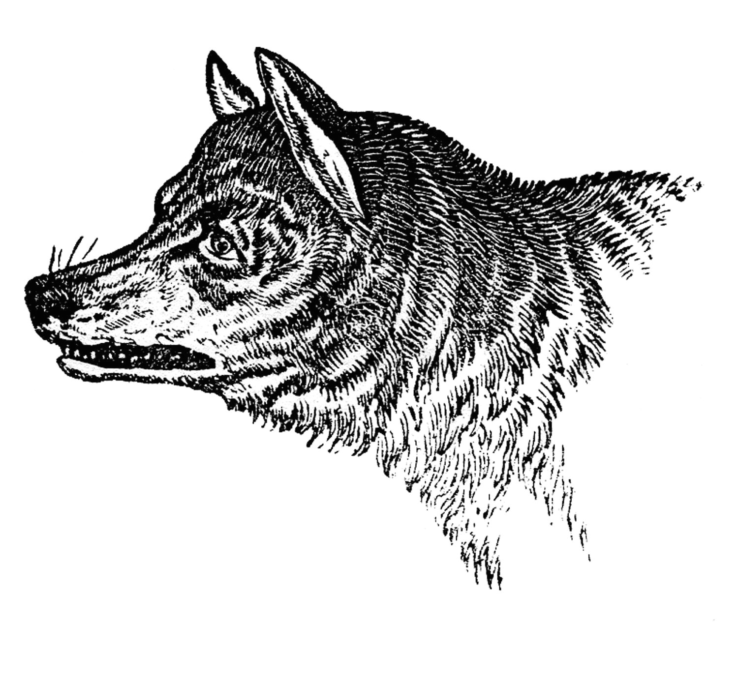 vintage clip art wolves wolf skull the graphics fairy wolf clipart vintage