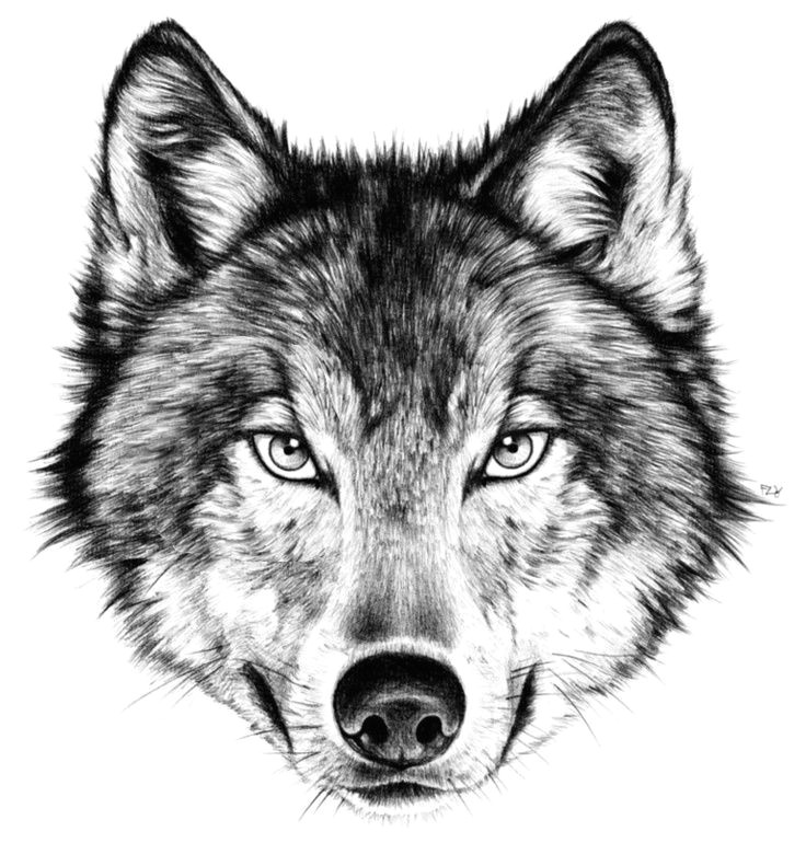 drawing how to draw a angry wolf face with how to draw a wolf face front view in conjunction with how to draw a wolf face youtube how to draw a wolf face
