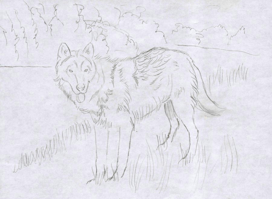 how to draw a wolf the detailed outline