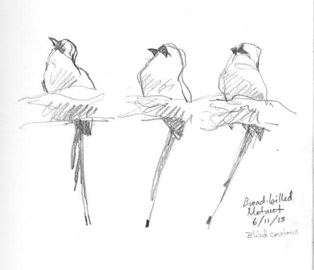 broad billed motmot three poses one bird drawn through the scope 6b pencil on robert bateman sketchbook 8 1 2 x 11 barro colorado isl