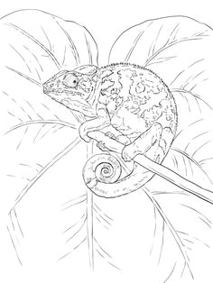 common chameleon coloring page blank coloring pages free printable coloring pages coloring books