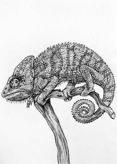 original pencil drawing chameleon 19 by rachelledyer on etsy