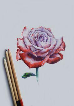 photo rose drawing