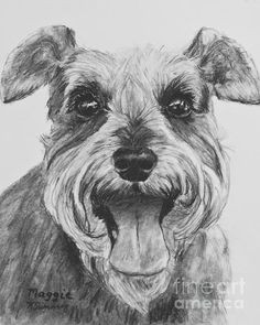 print of kate sumner s original charcoal drawing maggie of a smiling happy schnauzer ready to play schnauzers are known for their spunk and this lit