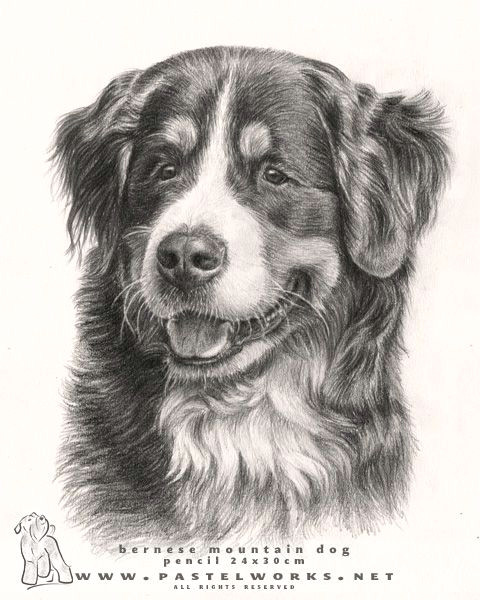 beautiful bernese mountain dog 3