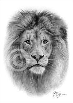 african lion artwork pencil drawing print a3 a4 sizes signed by uk artist art art drawings ebay