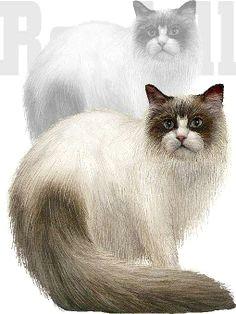 ragdoll cat clip art bing images