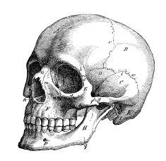 antique medical scientific illustration high resolution skull profile illustration evil skull tattoo skull