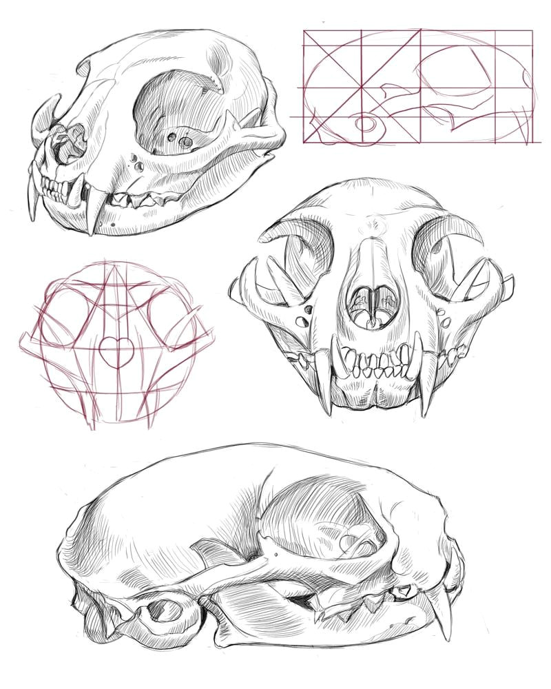 cat skull anatomy google search mas
