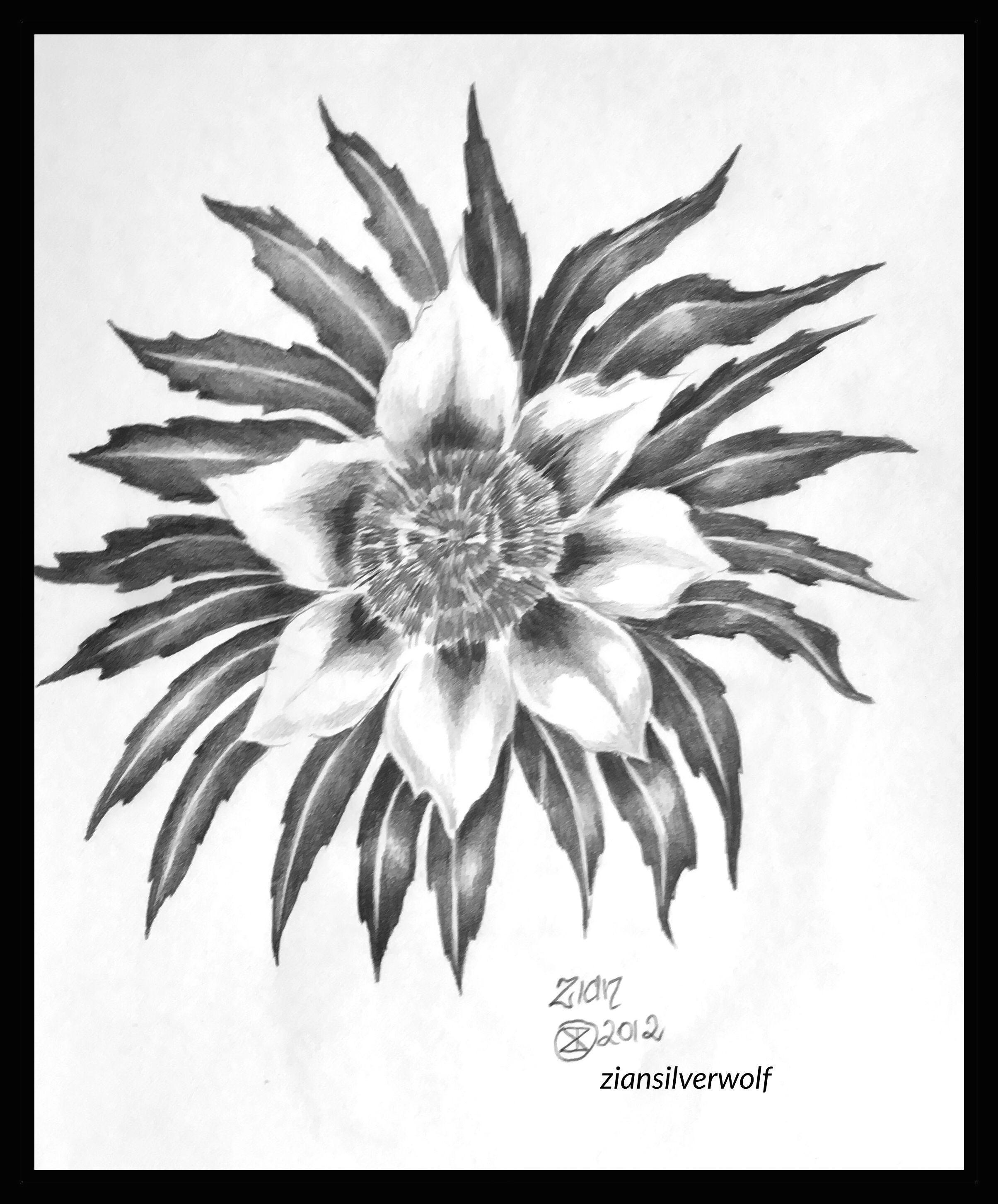 sketch flower study graphite on paper a4 made in victoria australia
