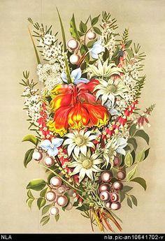 vintage botanical prints botanical drawings botanical illustration botanical art vintage floral vintage prints australian native flowers australian