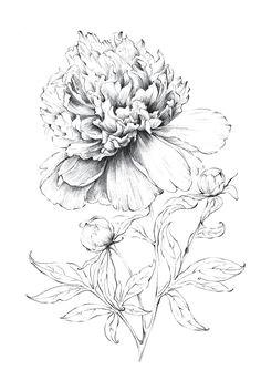 peony art sketch large flower artwork line drawing botanical prints floral