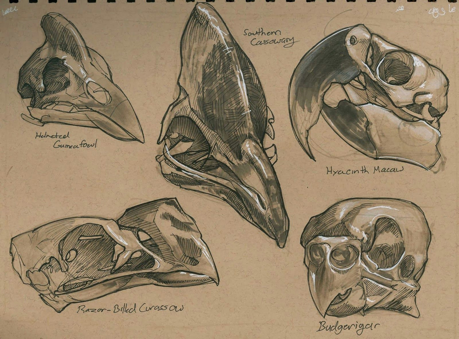 a few pages of bird skull studies these are done from photos reference in a book of mine called skulls an exploration of alan