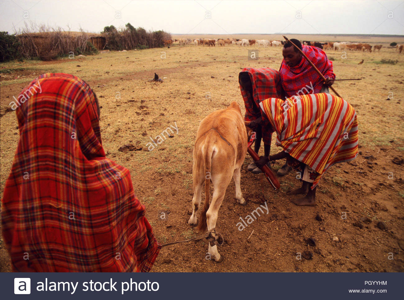 masais blut von einem kuh vena jugularis masai mara national reserve kenia masais
