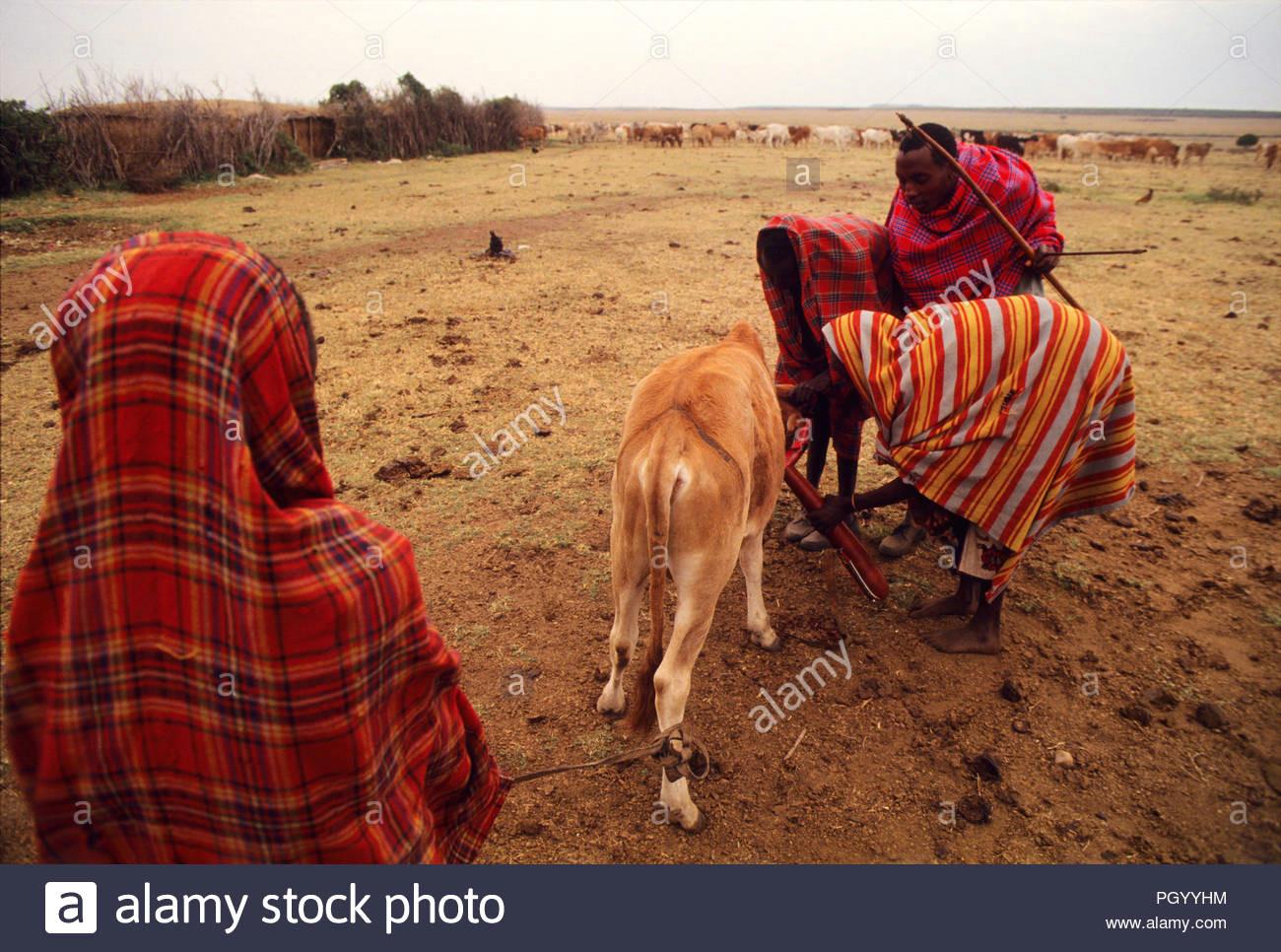 masais taking blood from a cow jugular masai mara national reserve kenya masais