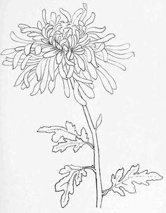 chrysanthemum drawing japanese chrysanthemum simple line drawings line drawing