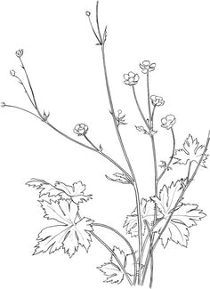common buttercup flower coloring page free printable coloring pages free printable coloring pages free