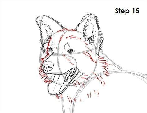 border collie dog 15