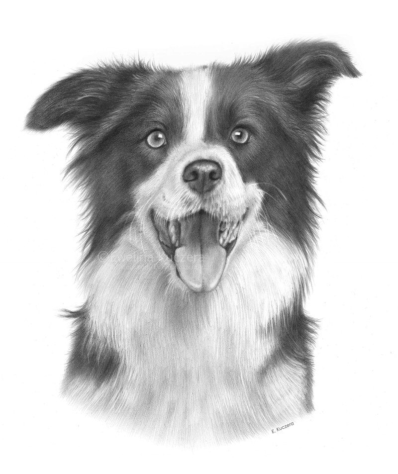Drawing Collie Dogs Border Collie Drawing by Kot Filemon On Deviantart Border Collie
