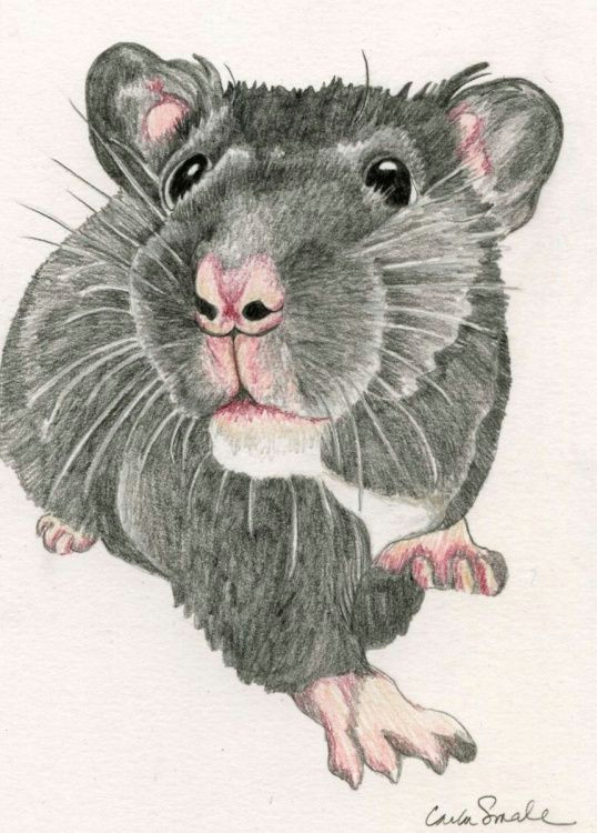 hamster pet art drawing 5 x 7 inches carla smale by carla smale