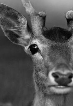 deer eyes a faucethead creative photo friday faucethead blog via tracif wildlife photography