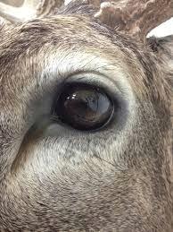 whitetail deer eyes whitetaildeerimages