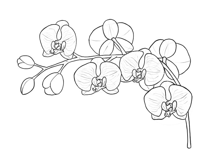 how to draw an orchid step by step coloring