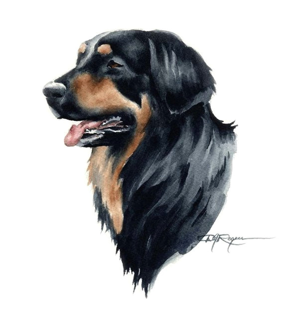 Drawing Different Dog Breeds Hovawart Dog Art Print by Artist Dj Rogers Products Dog Art Art