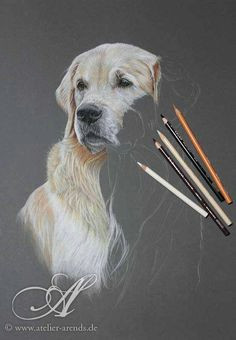 1 000 000 pictures golden retriever portrait drawn with colored pencils on colored paper by atelier arends