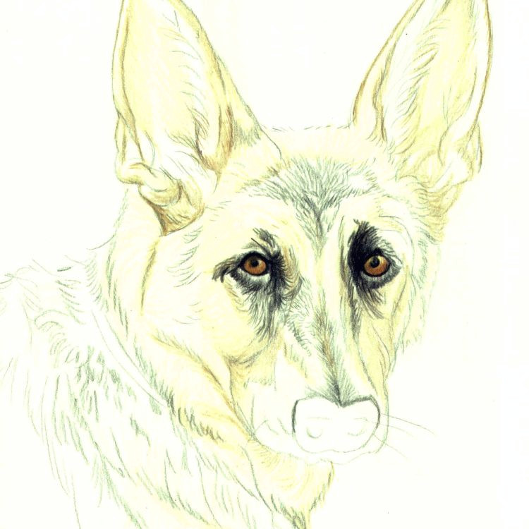 Drawing Dog Hair with Colored Pencils Drawing Lesson A German Shepherd In Colored Pencil