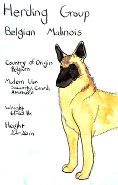 belgian malinois except my 9mo old dutch weighed in last week at