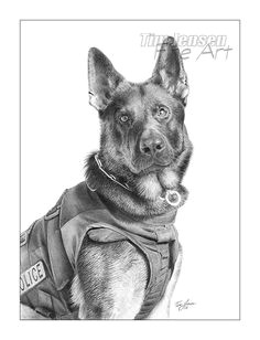 german shepherd police dog ready for action print of a realistic pencil drawing titled ronin starts at 5 x 7 inch by timjensenfineart on etsy
