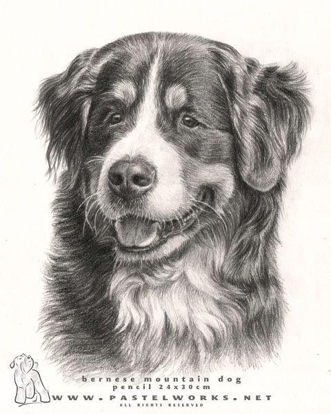 beautiful bernese mountain dog 3 drawings of dogs mountain dogs dogs bernese mountain