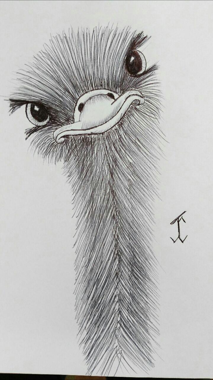 animalsostrich emu ostrich drawing draw pen art animal pencil drawings