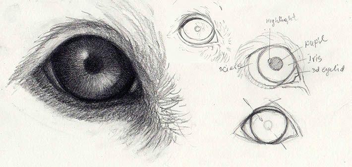 dog eye anatomic structure