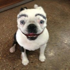 dog with eyebrows bad eyebrows drawing eyebrows funny eyebrows dog with eyebrows