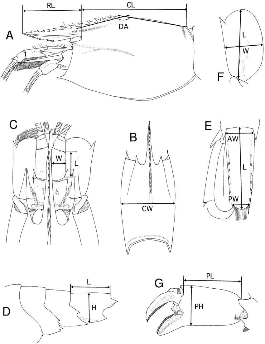 diagrammatic alvinocaris showing measurements used in text a download scientific diagram