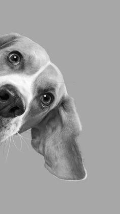 beagle petsync